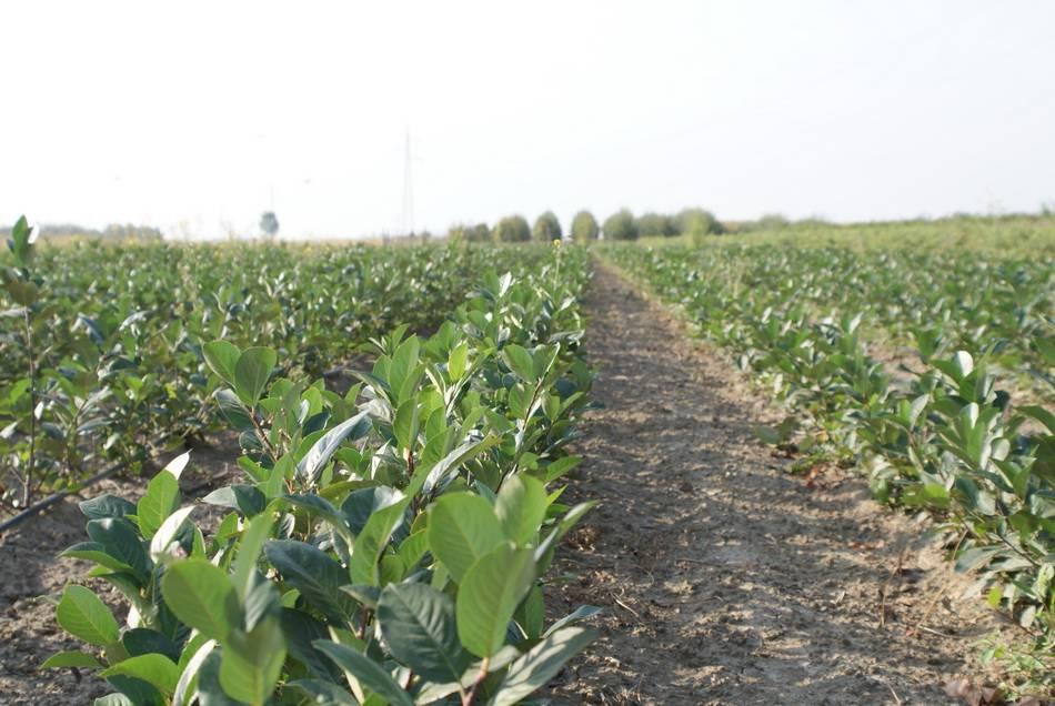 Sadnice i uzgoj