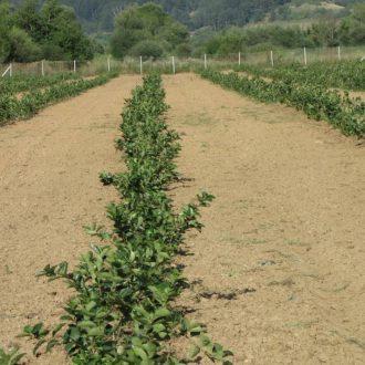 Plantaza aronije, Makedonija (2)_velika