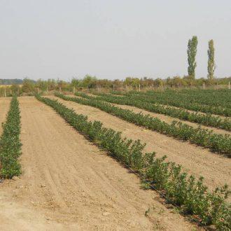 Plantaza aronije Ruma, Srbija (2)_velika