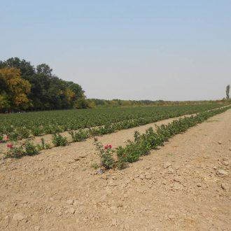 Plantaza aronije Ruma, Srbija (3)_velika