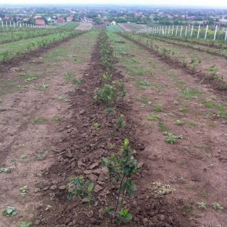 Plantaza aronije, Slankamen, Srbija _velika